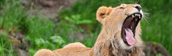 lion-baille